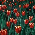 Tulip Festival by Anastasiya Malakhova