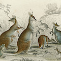 Various Kangaroos  Lord Derby's, Aroe by Mary Evans Picture Library