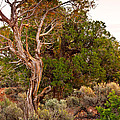 Weathered Tree Sunrise Canyon Dechelly by Bob and Nadine Johnston