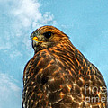What Are You Looking At Red Shoulder Hawk by Peggy Franz