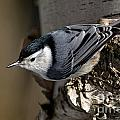 White-breasted Nuthatch Pictures 35 by World Wildlife Photography