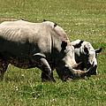 White Rhino Mother And Calf by Aidan Moran