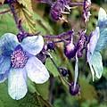 Wild Blue Rose by Robert Burns