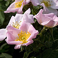 Wild Rose Shrub  by Cliff Norton