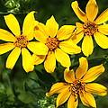 Yellow Texas Wildflowers by Terry Fleckney