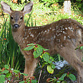 Young Fawn In The Grass by Kym Backland