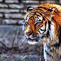 0010 Siberian Tiger by Michael Frank Jr