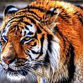 0011 Siberian Tiger by Michael Frank Jr
