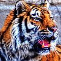 002 Siberian Tiger by Michael Frank Jr