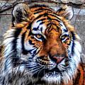 004 Siberian Tiger by Michael Frank Jr