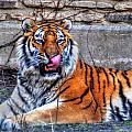 006 Siberian Tiger by Michael Frank Jr