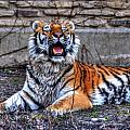 007 Siberian Tiger by Michael Frank Jr