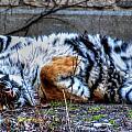 009 Siberian Tiger Wubb Me Bellwee Poweesh by Michael Frank Jr