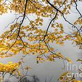 0135 Autumn Gold  by Steve Sturgill