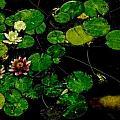 0148-lily -   Pastel Chalk 1 Sl by David Lange