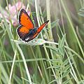 02 Balkan Copper Butterfly by Jivko Nakev