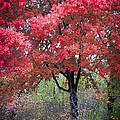 0277 Blazing Red by Steve Sturgill