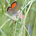 03 Balkan Copper Butterfly by Jivko Nakev