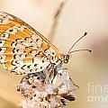 03 Lesser Spotted Fritillary by Jivko Nakev