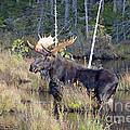 0340 Bull Moose 2 by Steve Sturgill