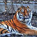0013 Siberian Tiger by Michael Frank Jr