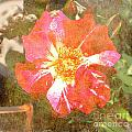 4th Of July Rose by Alys Caviness-Gober