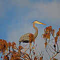 7- Great Blue Heron by Joseph Keane