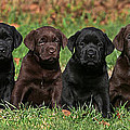 8 Labrador Retriever Puppies Brown And Black Side By Side by Dog Photos
