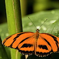 A Banded Orange Heliconian Butterfly by Henry Georgi