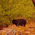 A Black Bear by Jeff Swan