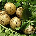 A Bunch Of Fresh New Potatoes by Kerstin Ivarsson