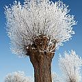 A Frosted Willow On A Very Cold And Bright Winter Day by Roeselien Raimond