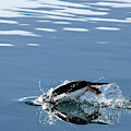 A Penguin Swims Through The Clear by Peter McBride