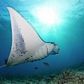 A Reef Manta Ray  Manta Alfredi by Dave Fleetham