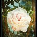 A Rose Is A Rose by Linda Olsen
