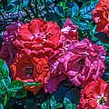 A Rose Is A Rose by Richard J Cassato