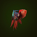 A Scarlet Macaw In Mid Flight by Tim Platt