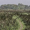 A Small Path Through Very Tall Grass Inside The Okhla Bird Sanctuary by Ashish Agarwal