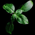 A Sprig Of Basil by Romulo Yanes