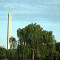 A Weeping Willow Washington Monument by Cora Wandel
