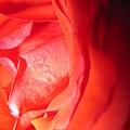 Abstract Orange Rose 10 by Tara  Shalton