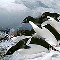 Adelie Penguins by Art Wolfe