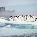 Adelie Penguins On Melting Ice Floe by Tui De Roy