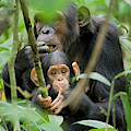 Africa, Uganda, Kibale National Park by Kristin Mosher