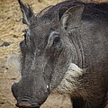 African Boar by Dave Hall
