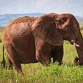 African Desert Elephant by Gregory Daley  MPSA