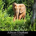 African Elephant by Chris Flees