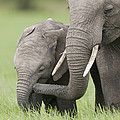 African Elephant Juvenile And Calf Kenya by Tui De Roy