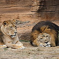 African Lion Couple 3 by Cathy Lindsey