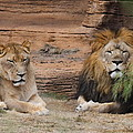 African Lion Couple by Cathy Lindsey